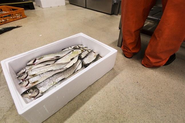 Lokala sikbestånd fredas nu under lektiden. Det innebär fiskeförbud på siken i en del områden i regionen.