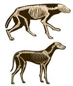 Den här skelettanimationen har gjorts av Kaj Granlund i Lestijärvi. Den övre bilden visar en varg, den undre bilden visar en varghunds kropp och kroppshållning.