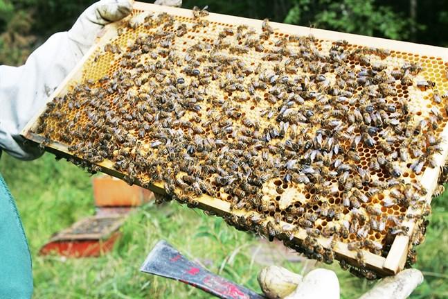 Sommarens honungsskörd blev stor.