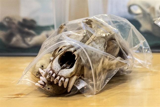Pensionerade viltforskaren Karlo Nygren är övertygad om att denna skalle inte har tillhört en varg.