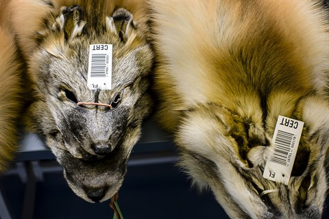Saga Furs sålde färre skinn till lägre priser...