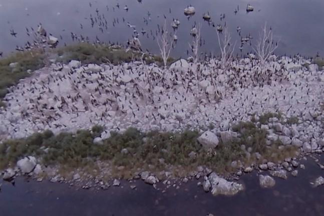 Skärmdump ur videon om skarvarnas miljöpåverkan.