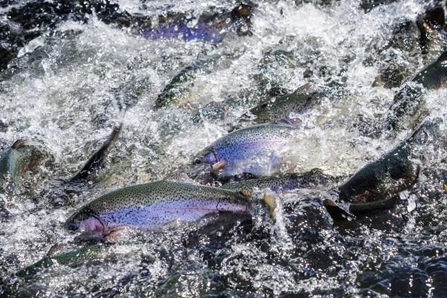 Sebastian Höglund understryker att en odlad fisk inte belastar miljön mer än en vild fisk om man matar den med specialfoder som är framställt av foderfisk från Östersjön.
