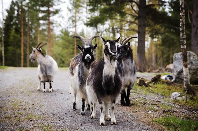 De här getterna är privatägda och bor på Markku Harjus gård på Replot. I skärgården går det däremot att få syn på både långhåriga Highlandkor och betande får som sommartid strövar fritt.