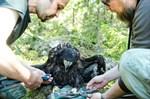 Den fem kilo tunga havsörnsungen får en ring på varje ben. Matias Snellman och Roland Lillkåla samarbetar effektivt.