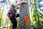 På väg upp. Allan Svenlin är 66 år men klättrar enkelt uppför botallen med stolpskornas hjälp. Bildbeskrivning: På väg upp. Allan Svenlin är 66 år men klättrar enkelt uppför botallen med stolpskornas hjälp.