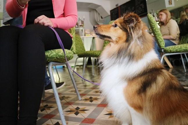 Bianca är en tvåårig shetland sheepdog, eller kort och gott sheltie. Enligt ägaren Sara Hellström är Bianca en ganska modig typ för att vara sheltie.
