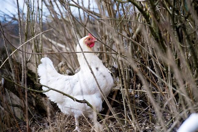 Fjäderfä ska hållas inomhus för att undvika smittspridningen av fågelinfluensa.