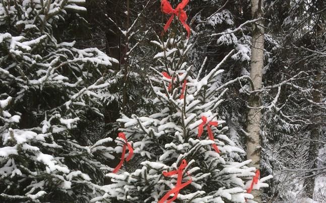 Julgransjaktens granar är dekorerade med röda fiberband.