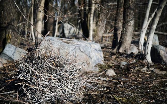 Ett övergivet skarvbo på Metgrundet. Skarvarna som häckade i Vasa har flyttat – troligen till Raumo.