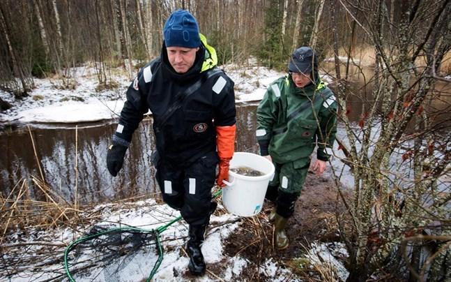 Hannu Harjunpää och Lari Veneranta bär upp en så med abborrar för märkning.