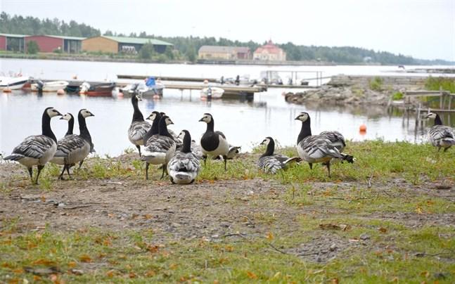 De vitkindade gässen är en allmän syn i Sydösterbotten, till exempel i centrum av Kristinestad.