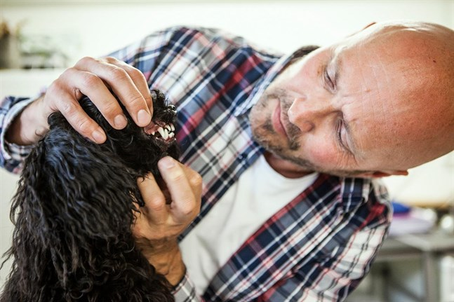 Veterinären Mikael Nylund specialiserar sig på hästtänder och kommer också att erbjuda tandvård åt smådjur inom kort. Hunden Spike har ännu en mjölktand kvar.