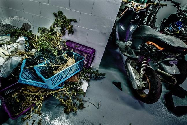 Beslagtagna cannabisplantor i förvar hos Jakobstadspolisen innan de förstörs.