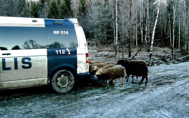 Fåren var mycket intresserad av besökarnas bilar vilket enligt länsveterinären ska bero på att de behövde salt.