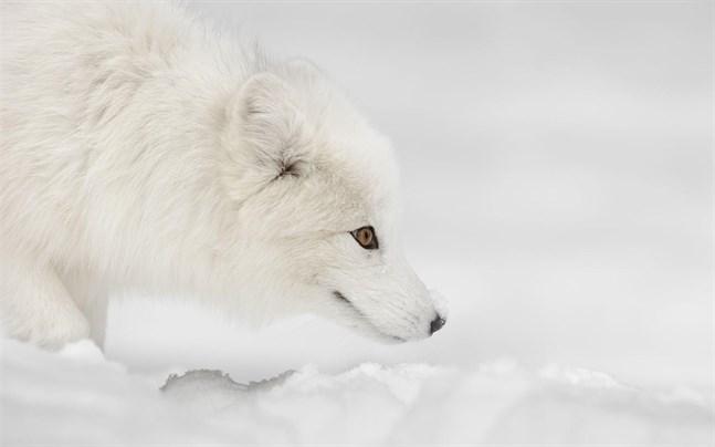 Enligt WWF har det under den senaste tiden har fjällrävsbestånden återhämtat sig i många fjällområden i Sverige och Norge, och även i Finland har det gjorts fler iakttagelser om fjällrävar än tidigare.