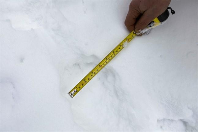 I vinter ska det letas vargspår i södra delarna av Österbotten om vädret tillåter.