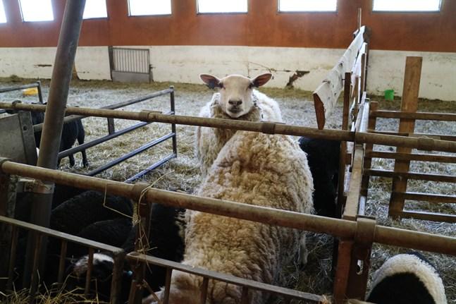 Flera gårdar i Österbotten misstänks ha sålt får till de personer som är huvudmisstänkta för olaglig slakt. Fåren på bilden har ingen koppling till händelsen.