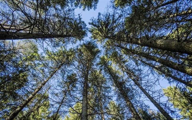 Allt fler vill kombinera gammal skog med nyplanteringar.