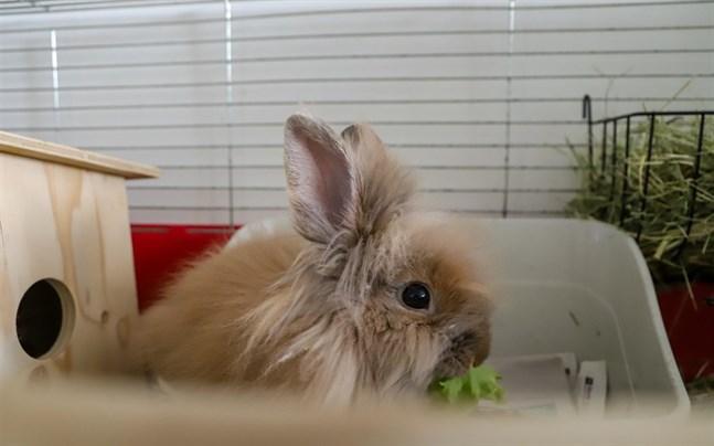 Många kaniner får fel foder. För att de ska må bra ska den allra största delen av deras kost bestå av hö. Ibland kan man ge en liten sallatsbit som godis.
