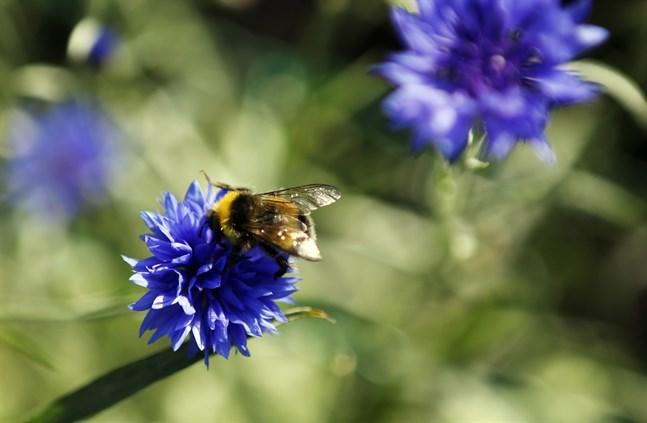 Vad händer när alla humlor, bin och insekter är borta? Det frågar sig Börje Herrgård i sitt debattinlägg.