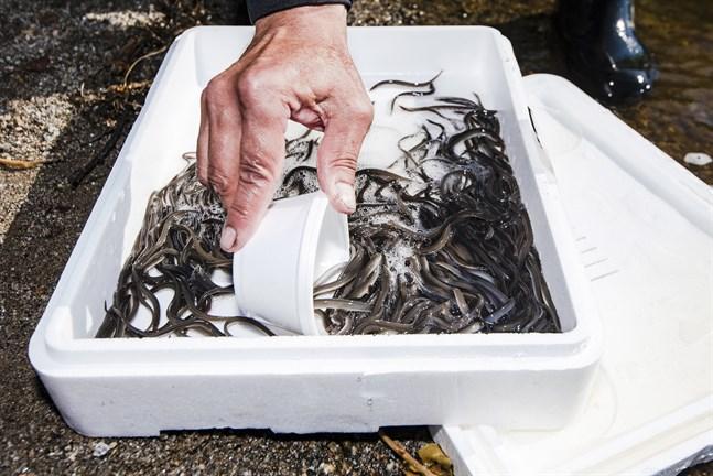 Myndigheterna informerade inte på förhand om utplanteringen av ål i Karperöfjärden.