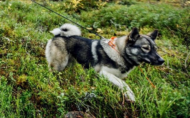 Älgjakt med hund är ett sätt att få ner älgstammen och därmed minska risken för viltkrockar.