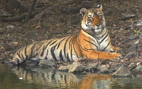 Fortsatt förbud i Kina för handel med tigerben - Österbottens Tidning
