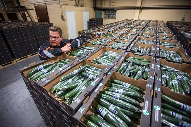 Peter Backström, vd, på Vasa grönsaker med ett parti gurkor klara för transport.