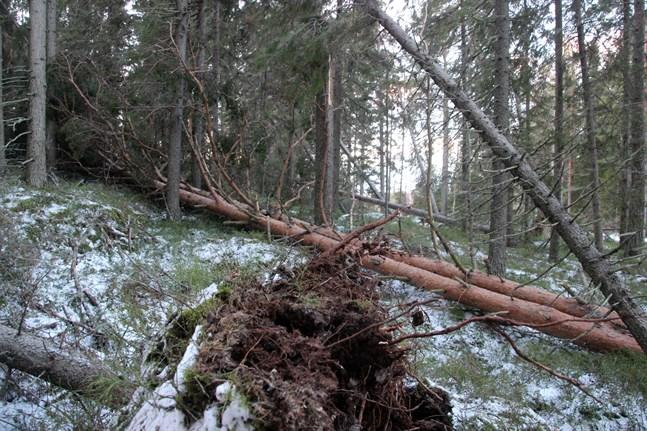 Lördagens storm fällde träd men större skador undveks.