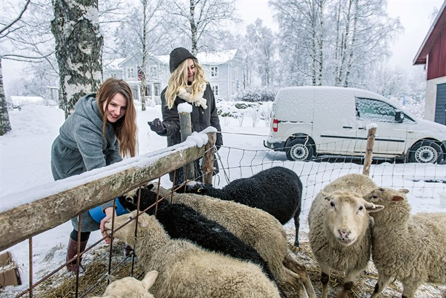 Fåren är en del av självhushållningen hos Jungarås i Jeppo. Här får de havre av Anna Jungarå och Anna Övergaard.