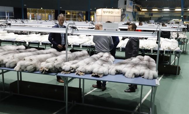 Blåräv är stommen i den österbottniska rävproduktionen.