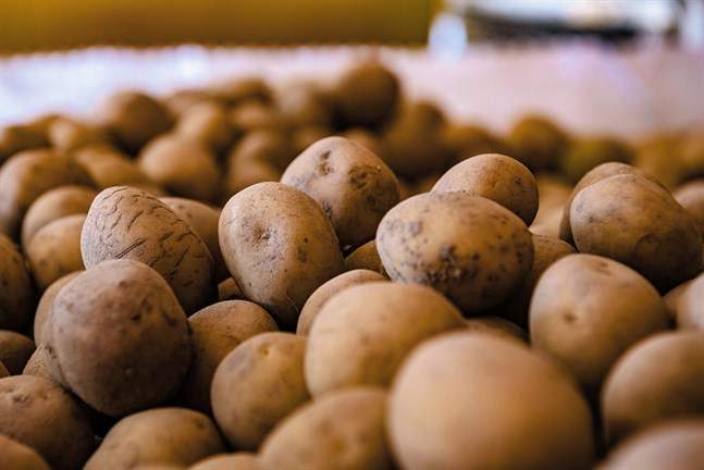Via företaget Potwell säljs 38000 ton potatis årligen.