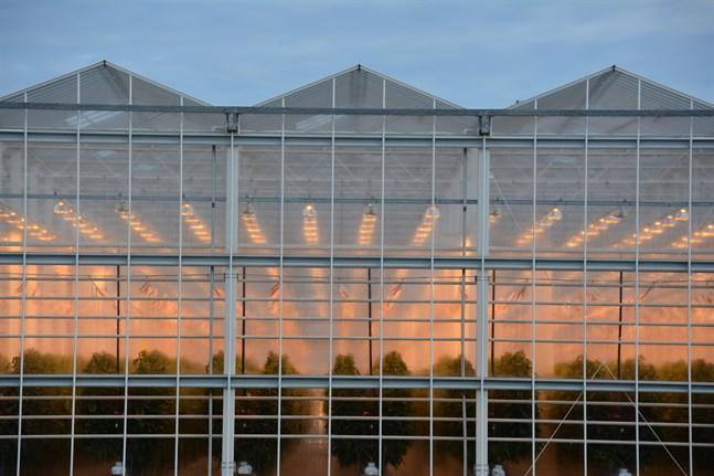Växthusnäringen fortsätter att växa i Närpes.Nu är en utbyggnad aktuell i Pjelax.