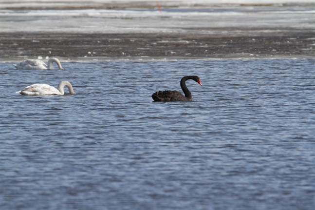 Svanen sågs i Långgrundsfjärden i måndags.