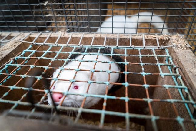 Covid-19 tros ha överförts mellan minkar och människor i Nederländerna, och pälsnäringen i Finland är redo för risken, som ändå bedöms vara låg i nuläget.