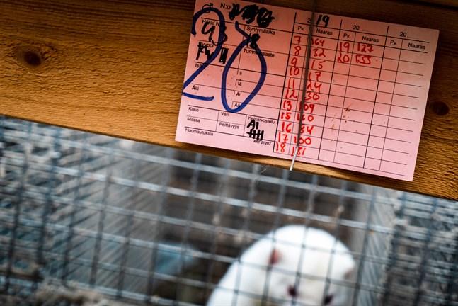 Om farmarna behöver avliva minkar för att skydda människor är ännu oklart. Det beror på vilka riskerna är.