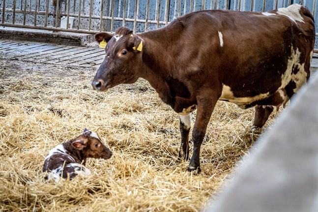 Mitt i intervjun föddes en kalvkviga. På bilden är kalven mindre än en timme gammal.