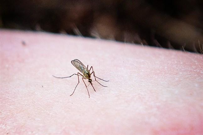 Mygg dras till människor via koldioxiden vi andas ut.