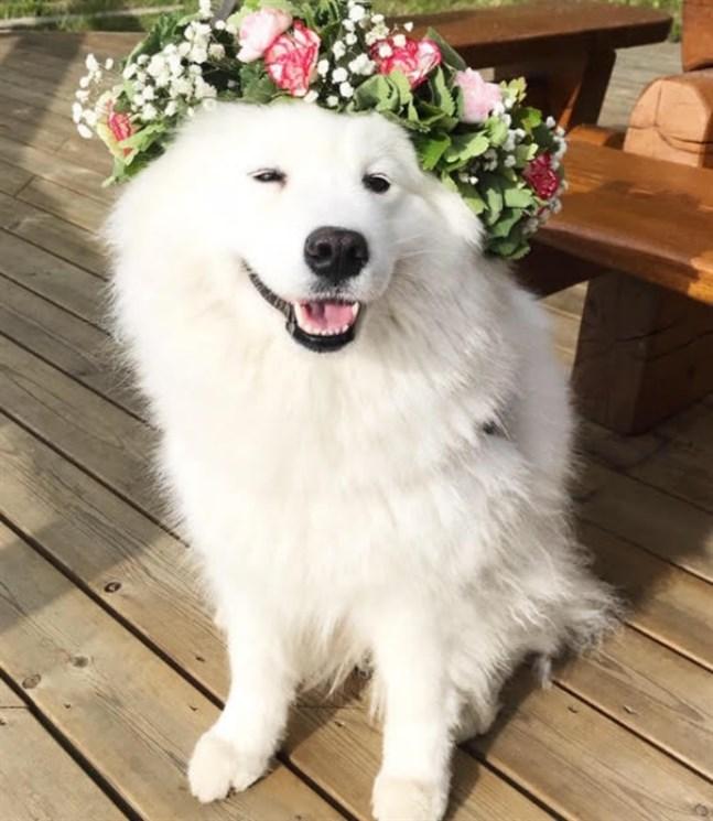 Hunden Rosie firar midsommar med sina vänner i Lepplax.