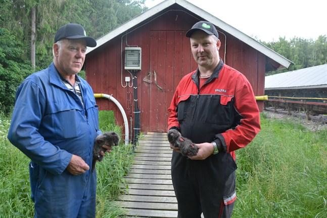 Per-Ole Lång och Matts Lång tycker det är bedrövligt med vargens framfart. De har plockat ämbarvis med angripna rävvalpar.
