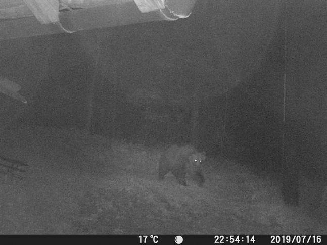 Brunbjörnen M49 är fortsatt på fri fot, här på en övervakningsbild från tidigare i veckan.