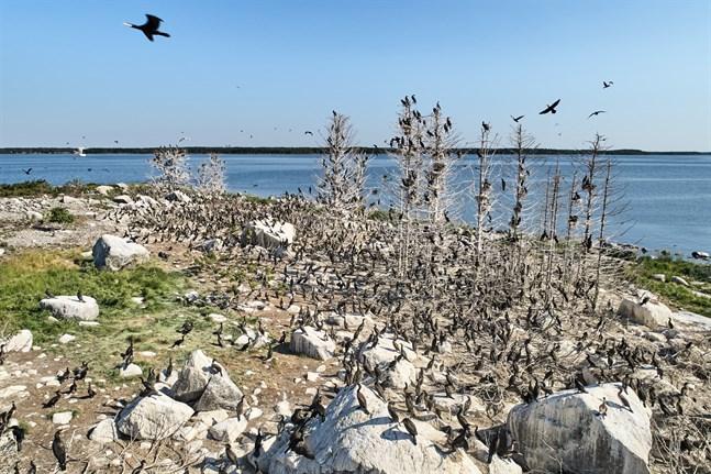 Just nu håller så många som 5000 skarvar till på Sommarögrund och den närliggande holmen Ensten. Det gör kolonin rekordstor.