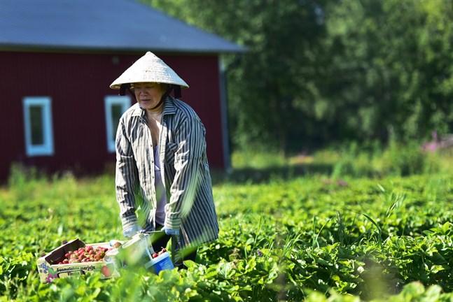 Bui Thi Co är en av de 5–8 personer som dagligen plockar jordgubbar på fälten i Ytteresse.