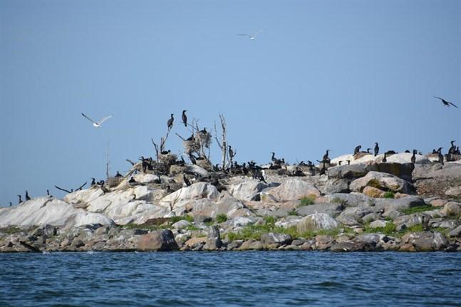 En del av de märkta öringsynglen slutade sina dagar på ön Norrgårdens utanför Sideby.