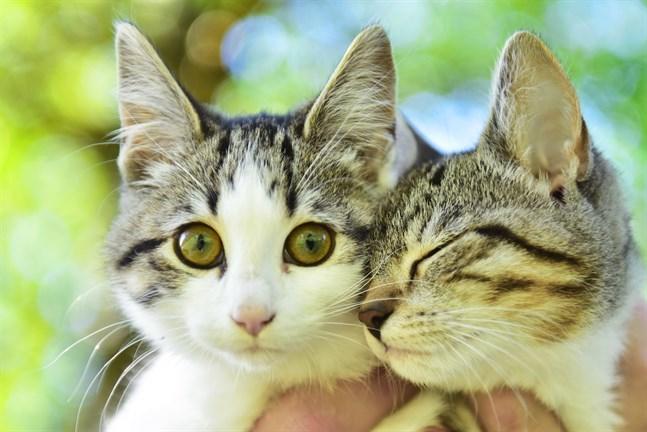 Vilda katter ska fångas in i Nykarleby och därför uppmanas kattägare att hålla sina katter inomhus.