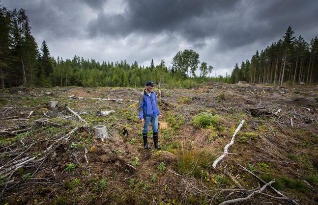 I snart femtio år har Allan Granfors rört sig i skogen i Västerhankmo. Här tar det länge innan den nya skogen växer upp, och det gamla svampbeståndet kommer aldrig tillbaka i sin ursprungliga form.