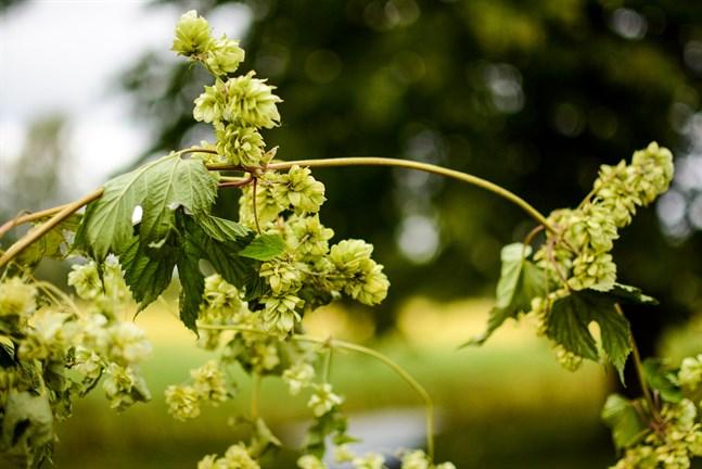 Efterfrågan på inhemsk humle för ölbryggning har ökat de senaste åren och Luke försöker nu få fram inhemska humlesorter som kan odlas i större skala och som passar i öl.