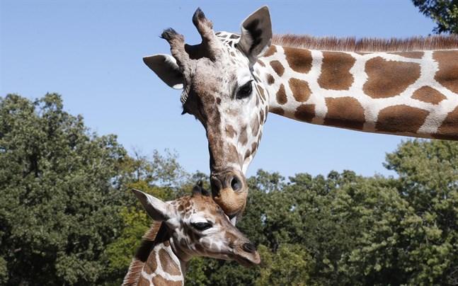 Ett internationellt möte i Genève i Schweiz om skyddet av djurarter har uttalat stöd för hårdare regler kring handeln med giraffer och delar av djuren.