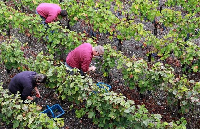 Vinskörden i Frankrike beräknas minska med 12 procent i år jämfört med i fjol, enligt landets jordbruksdepartement. Arkivbild.